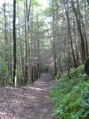 Hemlocks along Coontree (Coon Tree) Trail